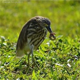 Chinese Pond Heron feeding on a skink