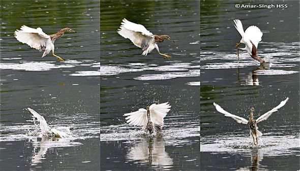 Feeding behaviour of herons: 1. Chinese Pond Heron