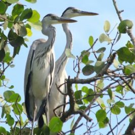 Nesting Grey Herons: 8. Feeding strategy