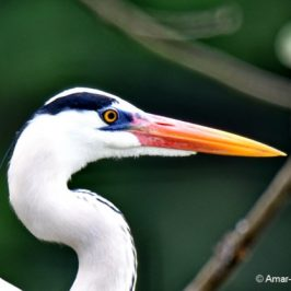 Grey Heron: Bare-part breeding plumage changes