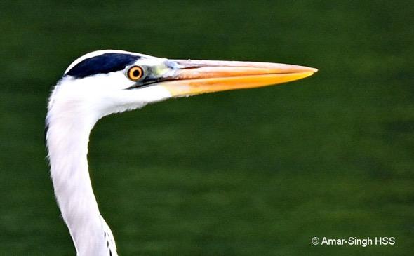 HeronGr [AmarSingh] 5