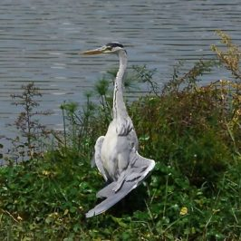 GASP! THE GREY HERON!