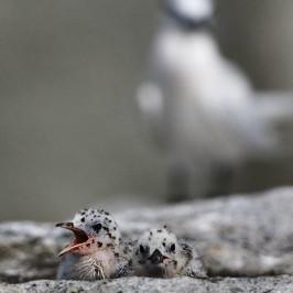 Black-naped Terns mobbing a Grey Heron