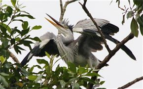 Nesting Grey Herons – Part 12: Begging Behaviour