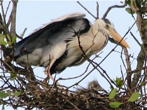Nesting Grey Herons: 6. Chick development
