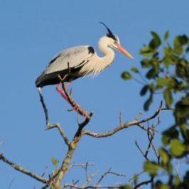 Nesting Grey Herons: 9. Conflict