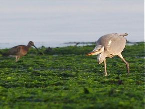 Juvenile Grey Heron and the Fiddler Crab