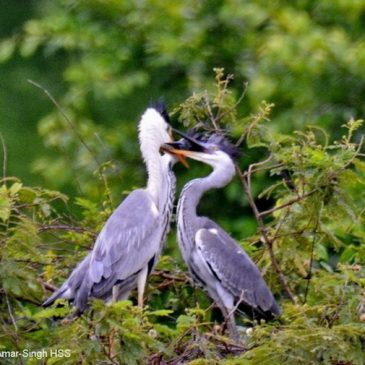 Grey Heron – feeding juveniles