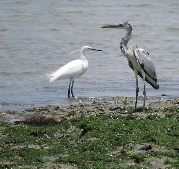 GREY HERONS FISHING – AMATEUR VS PROFESSIONAL