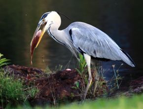 Baiting Grey Heron for photography