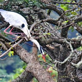 Grey Heron – mating plumage