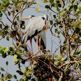 Nesting Grey Herons: 3. Copulation