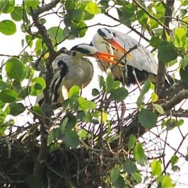 Nesting Grey Herons: 2. Nest building and maintenance