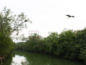 Nesting Grey Herons: 1: A New Heronry