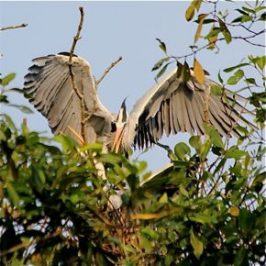 Nesting Grey Herons: 10. Sexual assault