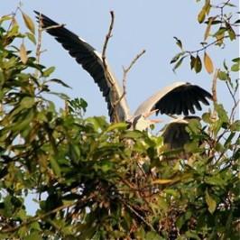 Nesting Grey Herons: 10. Sexual assault