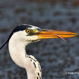 Grey Heron – tongue, feeding behaviour