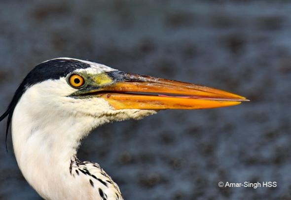HeronGr-tongue [AmarSingh] 4