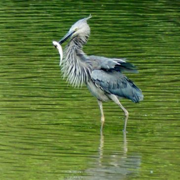 Great-billed Heron – hunting and mating calls
