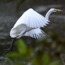 Feeding behaviour of herons: 2. Intermediate Egret