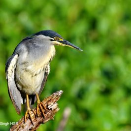 Little Heron – comfort behaviour