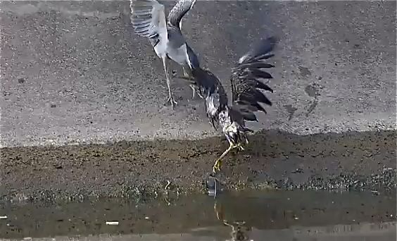 Adult Little Heron attacking juvenile