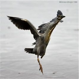 Feeding behaviour of herons: 3. Little Heron