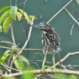 Little Heron – juvenile