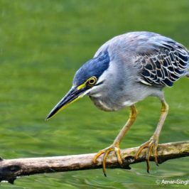 Little Heron – classical hunting pose, calls and more