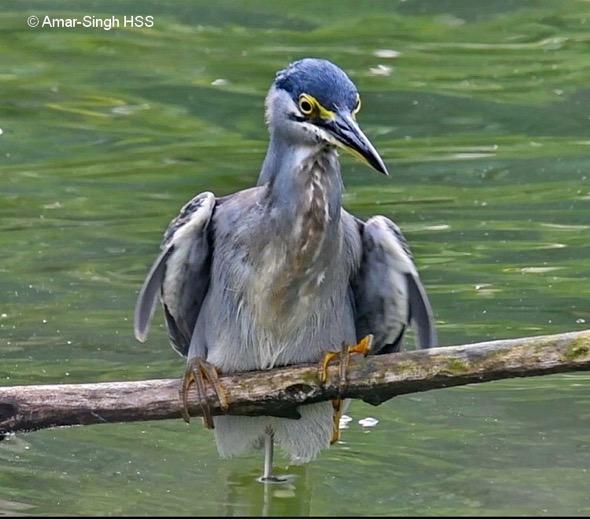 HeronL-pose [AmarSingh} 2