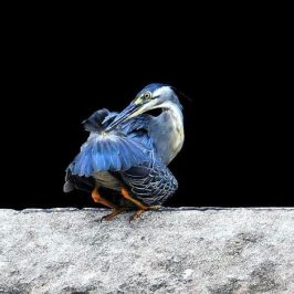 Little Heron and its uropygial or preen glands