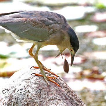 Black-crowned Night-heron casts a pellet