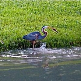 Purple Heron's Catch