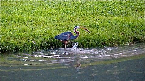 Purple Heron's Catch