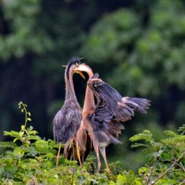 Purple Heron – feeding juveniles