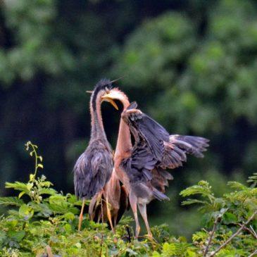 Purple Heron – feeding juveniles