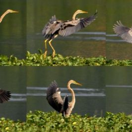 Purple Heron flight landing sequence