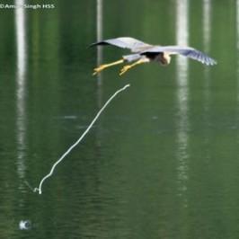 Purple Heron flight landing sequence