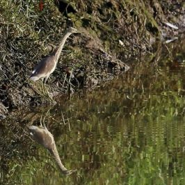 Pond Heron plunge-fishing