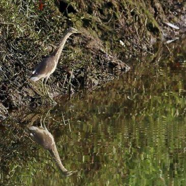 Pond Heron plunge-fishing