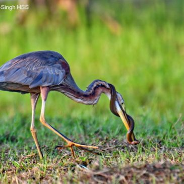 Purple Heron – feeding behaviour, eel