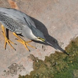 AGGRESSIVE BEHAVIOUR OF STRIATED HERON: Fight, Flight or Fright?
