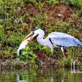 Grey Heron – feeding behaviour