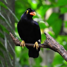 Common Hill-myna in danger of being poached