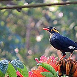 Southern Hill-myna and African Tulip flowers