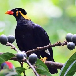 Common Hill-myna eating <em>Canthium glabrum</em> fruits