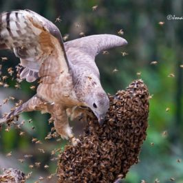 Oriental Honey-buzzard attacking a bee hive