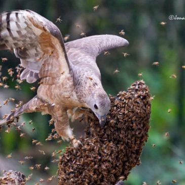Oriental Honey-buzzard attacking a bee hive