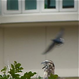 Oriental Honey-buzzard Mobbed By House Swallows