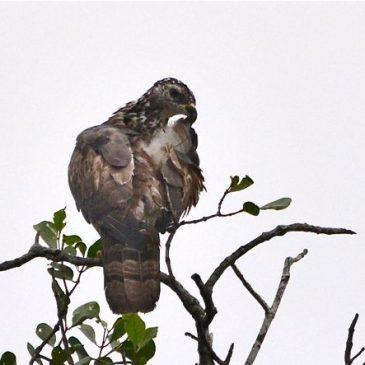 Oriental Honey-buzzard Mobbed